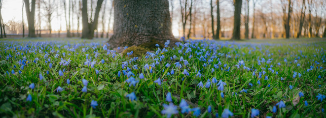Natural fowerbed of Siberian Squill or Scilla siberica flowers