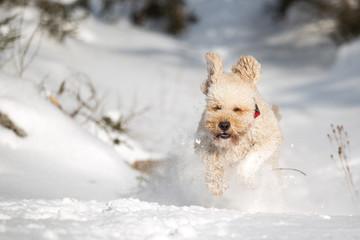 Labradoodle läuft im Schnee