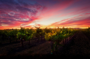 Sunrise over rows of Vines in a Barossa Valley Vineyard