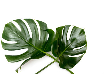 Exotic monstera plant on a white background