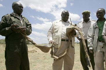 Kenya Wildlife Service head of species Patrick Omondi holds a GPS collar removed from an elephant at the Maasai Mara National Reserve