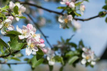 Spring Blossoms APPLE