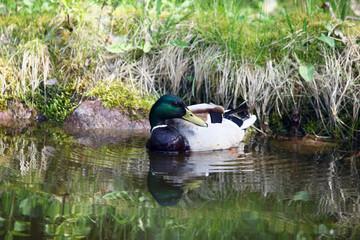 wiosna w Polsce - dzikie kaczki