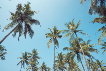 Vintage toned tropical coconut palm trees over clear sky