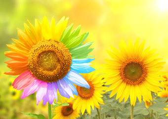 Fototapete - Sunflower with petals painted in rainbow colors