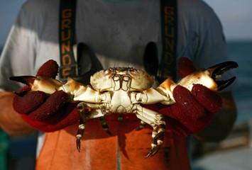 Crabber holds stone crab north of Marathon in the Florida Keys