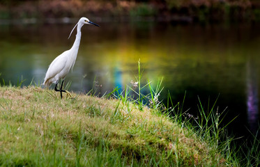 White Little Egret glare at water for catch fish