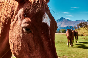 New Zealand wild horses