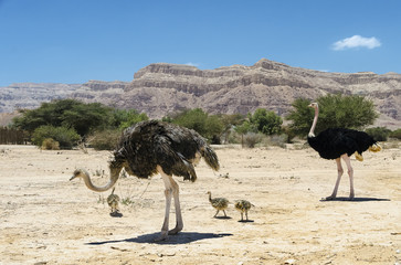 Family of African ostrich (Struthio camelus) with young chicks in nature reserve park, 35 km north of Eilat, Israel