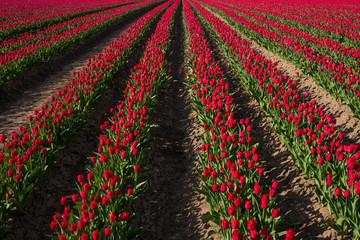 landwirtschaftlicher Anbau von Tulpen auf einem Tulpenfeld in der Börde