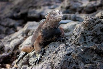 Marine iguana. Galapagos Islands