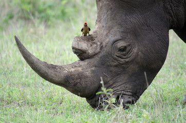 Protecting the rhino