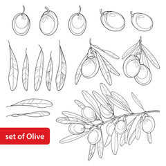 Vector set with outline Olive, bunch, fruit and leaves in black isolated on white background. Olive branch in contour style for healthcare design, food menu, natural cosmetic and coloring book.