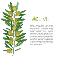 Vector template with outline green Olive, unripe fruits and leaves isolated on white background. Olive branch in contour style for healthcare, food menu or natural cosmetic design.