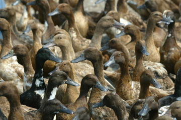 DUCKS CROWD INTO A CORNER BEFORE BEING DESTROYED IN KANCHANBURI.