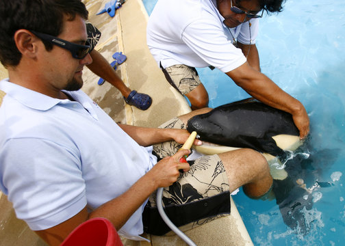 File picture shows keepers feeding month old orphan killer whale Pascuala at the Dolphin Adventure park in Nuevo Vallarta