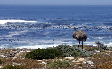 An ostrich walks next to the Atlantic Ocean at the Cape of Good Hope