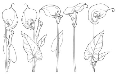 Vector set with Calla lily flower or Zantedeschia, bud and leaves in black isolated on white background. Floral elements in contour style with ornate calla for summer design and coloring book.
