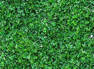 Natural Seamless background of trefoils top view. Bright green Texture of the Solitary blades of grass between