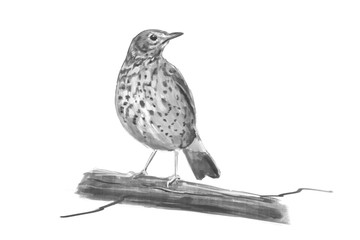 Illustration of a Song Thrush. Digital painting.