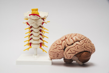 Artificial brain and spine model