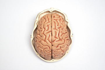 Artificial human brain and skull model