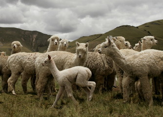 Alpacas and baby alpaca stand at a breeding farm in Peru's remote southern Andes in the village of N..