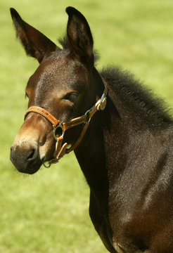 Idaho Gem, the first sucessfully cloned mule in the world, is unveiled at the University of Idaho (U..