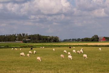 pecore al pascolo nelle campagne olandesi