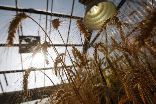 Stalks of wheat  grows at a greenhouse of the wheat breeding program at the Nebraska university in Lincoln, Nebraska