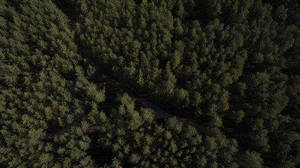 Photo from the quadrocopter of coniferous forest in summer