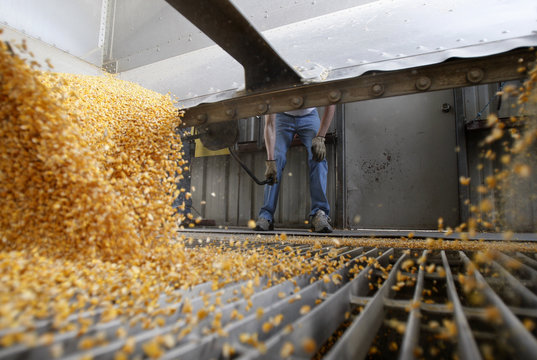 A truck driver unloads cargo of corn into chute at elevator plant in Lincoln