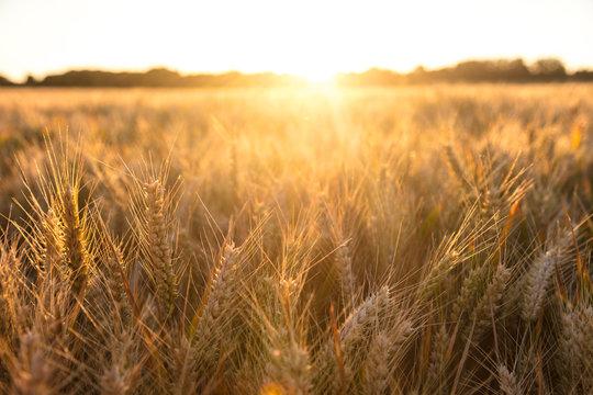 Barley Farm Field at Golden Sunset or Sunrise