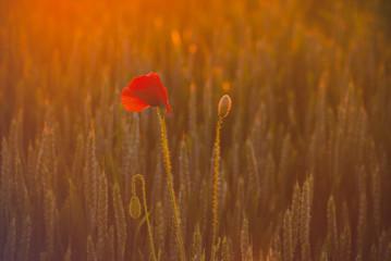 Poster Poppy Kwitnące maki wśród pól