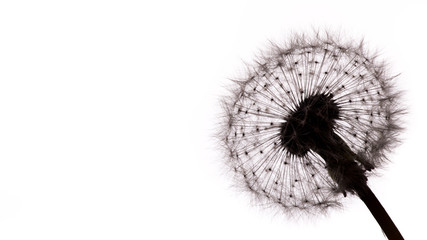 Close-up of dandelion seeds on white background.