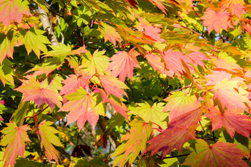 Colorful Autumn Leaves, Japan, Hokkaido, Onuma Quasi National Park