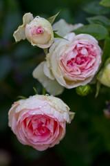 Rosa Ramblerrose nach Regenschauer
