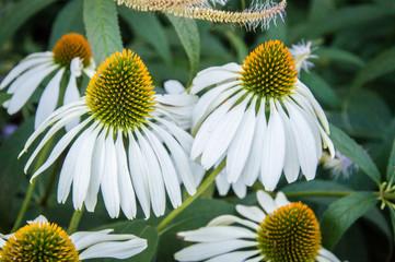 White Echinacea herb