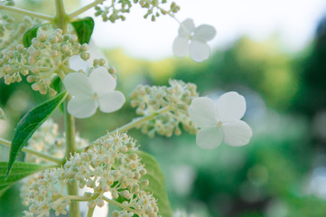 Beautiful white petals on a day in summer - Stock image