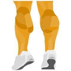 vector image lower legs. leg muscles