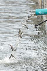 Annual release of young brown trout or Salmo trutta in Strommen