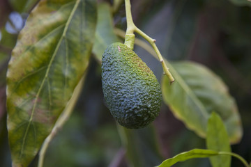 Avocado. Avocado tree. Vegetable Growing. Gardening concept