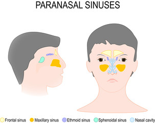 Paranasal Sinus and Nasal Cavity