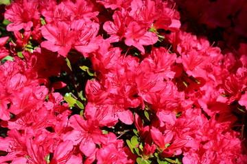 Red azalea blooms in spring sunshine