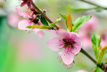 Flowering with pink flowers is the peach tree