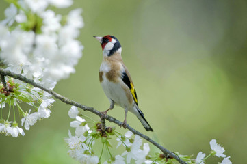 A Goldfinch (Carduelis carduelis) perches on a cherry branch in Studencice