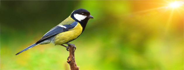 Great tit, on a branch