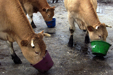 COWS EAT CEREAL - BASED GRANULES FROM FEED BUCKETS IN SOUTH-WESTERN FRANCE.