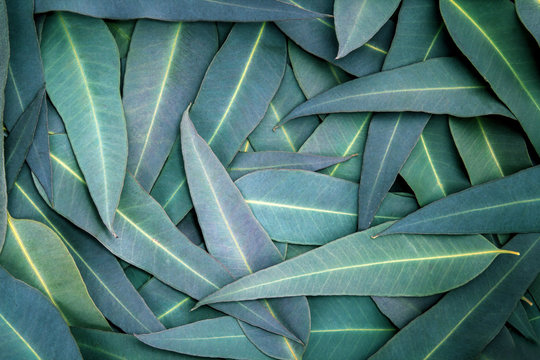 the Nature Eucalyptus leaves  background