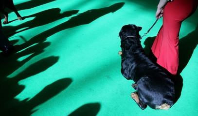 Woman waits for judging with her Rottweiler at the 103rd Crufts dog show in Birmingham